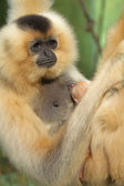 Portrait of Lar Gibbon female with animal baby — Stock Photo