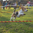 Beagle bitch is jumping — Stock Photo #35793965