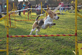 Beagle bitch is jumping — Foto de Stock