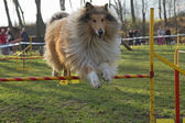Collie Rough dog is jumping — Stock Photo