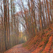 Path in a beech forest at sunset — Stock Photo