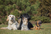A group of four dogs of different breeds — Stock Photo