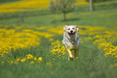Golden retriever is running toward the camera — Foto Stock