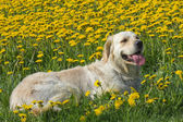 Golden Retriever on a blooming dandelion meadow. — Stockfoto