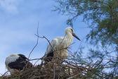 Cicogne nel nido. — Foto Stock