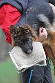 German Shepherd Dog puppy training. — Stock Photo