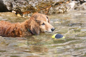 Dachshund is playing in the sea — Stock Photo