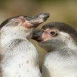 Close-up of a humboldt penguin — Stock Photo
