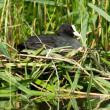 Stock Photo: Common coot sitting on a nest