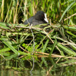 Common coot sitting on a nest - Stock Photo