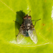 Housefly on a green leaf — Stock Photo