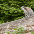 Ring-tailed lemur in captivity — Foto Stock