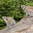 Ring-tailed lemurs in captivity — Stock Photo #12499362