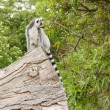 Ring-tailed lemur in captivity — Stock Photo #12499364