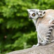 Ring-tailed lemur in captivity — Stock Photo #12499398