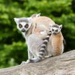 Ring-tailed lemur in captivity — Stock Photo #12499399