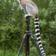 Ring-tailed lemur sitting on tripod — Stock Photo
