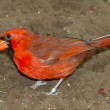 Northern Cardinal in captivity — Stock Photo