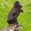 Crested Black Macaque (Macaca nigra) - Foto Stock