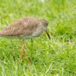 Redshank in the grass — Stock Photo