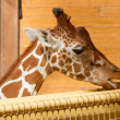 Close up on Head of Giraffe Giraffa Camelopardalis Eating - Stok fotoraf