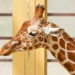 Giraffe, Giraffa Camelopardalis Eating - Stok fotoraf
