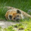 Stock Photo: Large spotted hyenresting
