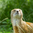 Close-up of a yellow mongoose (cynictis penicillata) - Foto Stock