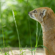 图库照片: Close-up of yellow mongoose (cynictis penicillata)