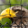 Steller's seeagle in captivity — Stock Photo #12499855