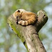 Sleeping coatimundi — Stock Photo