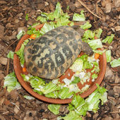 Hermann's Tortoise, turtle in a salad bowl — Stock Photo