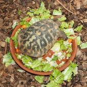 Hermann's Tortoise, turtle in a salad bowl — Foto de Stock