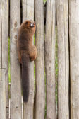 Red-bellied Lemur (Eulemur rubriventer) — Foto Stock