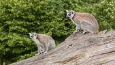 Ring-tailed lemurs in captivity — Stock Photo