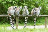 Ring-tailed lemur in captivity — Stock Photo