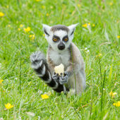 Ring-tailed lemur eating fruit — Stock Photo