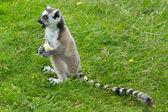 Ring-tailed lemur eating fruit — Stock Photo