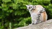 Ring-tailed lemur in captivity — Stock Photo