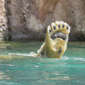 Nahaufnahme von einem polarbear in capticity — Stockfoto