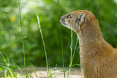 Close-up of a yellow mongoose (cynictis penicillata) — ストック写真