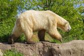 Close-up of a polarbear (icebear) — Stock Photo