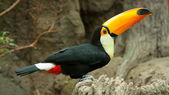 Toco Toucan — Stock Photo