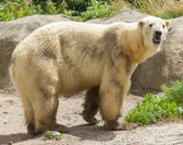 Close-up of a polarbear in capticity — Stock Photo
