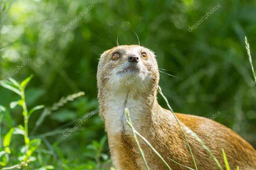 Close-up of a yellow mongoose (cynictis penicillata) in captivity — Stock Photo #12499780