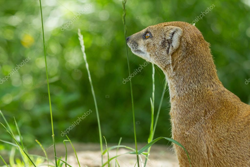 Close-up of a yellow mongoose (cynictis penicillata) in captivity — Stock Photo #12499789