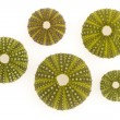 Stock Photo: Isolated green sea urchins