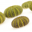 Isolated green sea urchins — Stock Photo