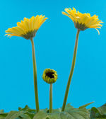 Yellow gerbera flower isolated on a blue background — Stock Photo