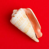 Seashell bianco marrone isolato — Foto Stock